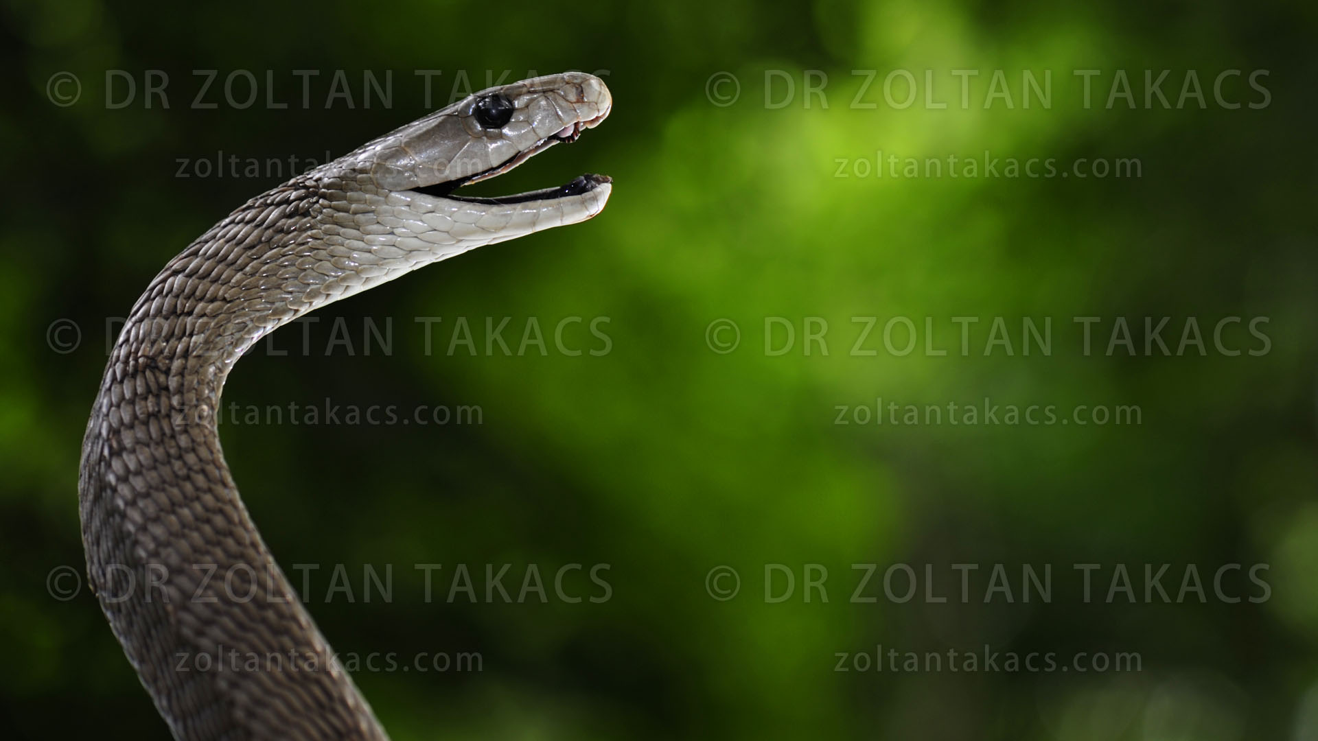 Black mamba (Dendoaspis polylepis, Elapidae, Squamata, Reptilia) is one of the deadliest venomous snake in the world. Large snake, large amount of venom, neurotoxic and cardiovascular effects, are all contributing to the dangerousness of this species. Dr. Zoltan Takacs.