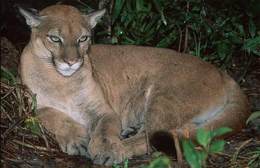 http://zoltantakacs.com/zt/im/scan/animals/puma_28015_340.jpg