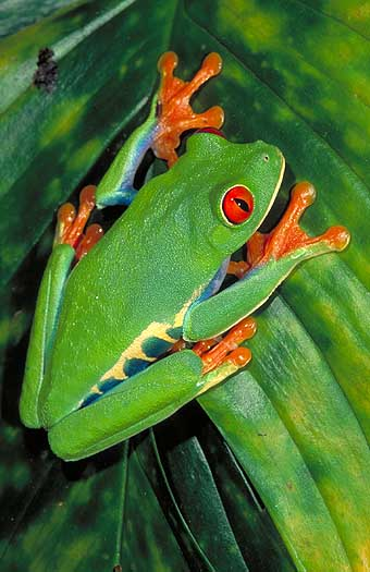 tree frog pictures. Red eye tree frog (Agalychnis