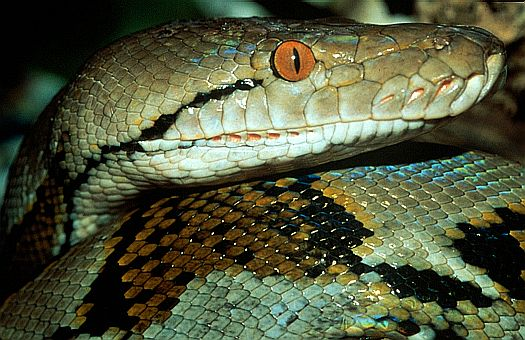 Reticulated python (Python reticulatus), Central Kalimantan, Indonesia. Dr. Zoltan Takacs.