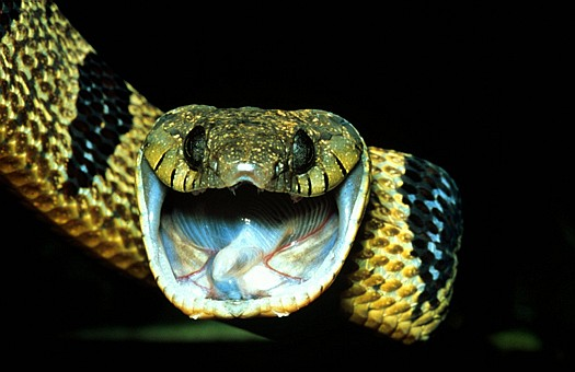 Blanding's tree snake (Toxicodryas (Boiga) blandingii), Kakamega forest, Kenya. Dr. Zoltan Takacs.