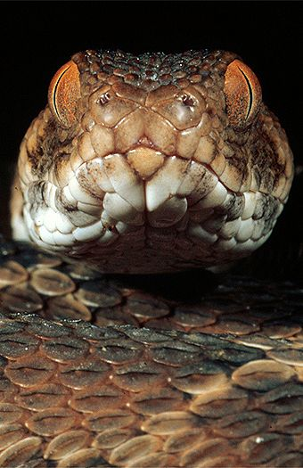 Northeast African carpet viper (Echis pyramidum), northern Kenya. Dr. Zoltan Takacs.