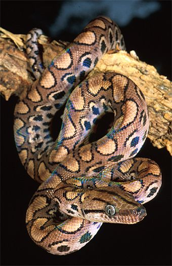 Rainbow boa (Epicrates cenchria), French Guyana. Dr. Zoltan Takacs.