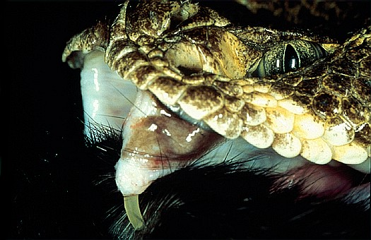 western Diamondback Rattlesnake Fangs