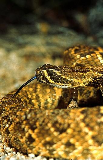 Mojave rattlesnake (Crotalus scutulatus), Mojave desert, California, USA. Dr. Zoltan Takacs.