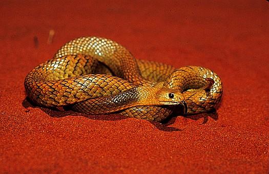 Gwardar (Pseudonaja nuchalis), Gibson desert, Australia. Dr. Zoltan Takacs.