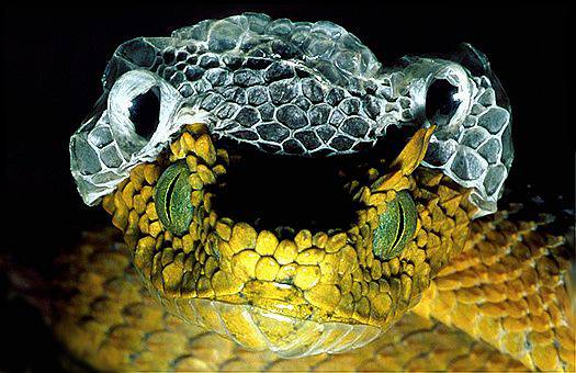 Female Usambara eyelash viper (Atheris ceratophorus), sheds its skin off. Eastern Usambara Mountains, Tanzania. Dr. Zoltan Takacs.