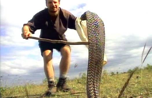 pet cobra